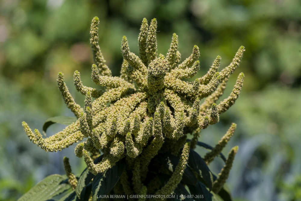 Amaranth flower, the seeds from which are an ancient grain.