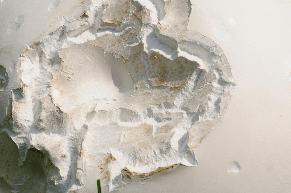 Reuzenbovist, Calvatia gigantea