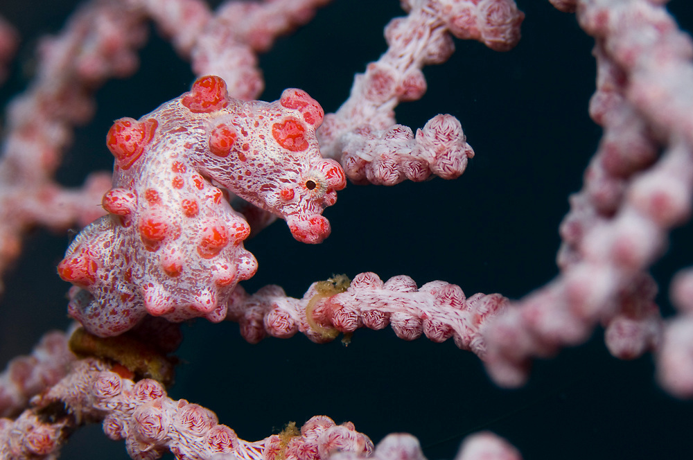 Pygmy Seahorse (Hippocampus bargibanti), photographed in Lembeh Straits, Indonesia. This tiny fish, barely half-inch long, lives its entire life hidden in a specific type of gorgonian (Muricella plectana).