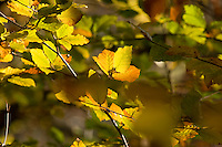 beech leaves with autumn colours