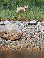 Gray wolf, Canis lupus, stands in the grass along a rocky shore. Katmai National Park, Alaska USA.
