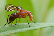 Picture-winged Fly; Tritoxa incurva; PA, Philadelphia, Morris Arboretum; Ulidiidae; Diptera; insect; goldenrod;