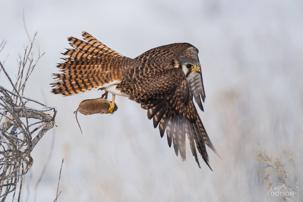 A female american kestrel goes airbourne with a mouse.