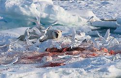 Polar bear (Ursus maritimus) with Ivory gulls (Pagophila eburnea) on drifting ice at 82 degree North in September, Svalbard, Norway
