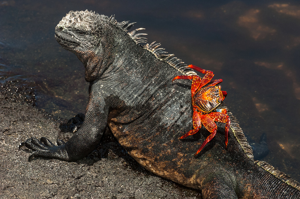 Marine Iguana (Amblyrhynchus cristatus) and Sally Lightfoot Crab (Grapsus grapsus)<br /> Cabo Douglas, Fernandina Island, GALAPAGOS ISLANDS<br /> ECUADOR.  South America<br /> ENDEMIC TO THE ISLANDS<br /> These are the only true marine lizard in the world. Although not truely social they are highly gregarious, often spending cool nights in tight clusters. As the sun rizes they can be seen sunning themselves on the rocks to heat up before going into the sea to feed. Their black coloration helps them to absorb the sun's energy and to camourflage on the lava rocks.