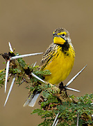 Yellow-throated Longclaw, Macronyx croceus, from Solio Ranch, Kenya.