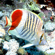 Crown Butterflyfish inhabit reefs. Range Red Sea & Gulf of Aden endemic.
