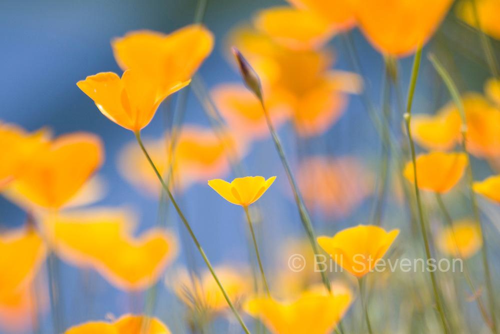 A photo of California Poppies (Eschscholzia californica in the Sierra foothills near Auburn California.
