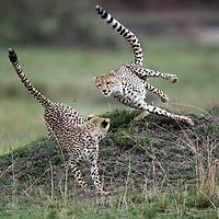 Africa, Kenya, Masai Mara Game Reserve, Cheetah (Acinonyx jubatas) adolescent cubs chase each other while playing on savanna