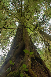 Western hemlock tree grows on much bigger Douglas fir. Location: Quinault Rain Forest Trail, Olympic National Forest, Washington, US