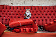 A Crete cat posing for a photograph on a red couch standing beside the main road of the village of Gialos close to Paleochora on the Greek island of Crete.