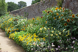 The sunflower trial border at Parham House