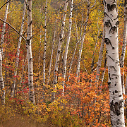 Birches and fall color in Pinkham Notch New Hmpshire