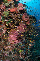 Sweepers Congregate on Reef Wall..Shot in Indonesia