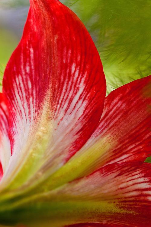 MACRO SHOTS OF RED AMARILLIS FLOWER