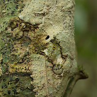 A master of camouflage, the Mossy Leaf-tailed Gecko (Uroplatus sikorae) is almost completely undetectable when it is at rest on a small tree in the forest understory. Frilled flaps of skin along its body break up its outline, making it appear nearly seamless with the tree on which it rests. Tomasina, Madagascar.