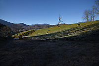 Cattle graze on a ridge high above the Mountain Research Station farms near Waynesville.