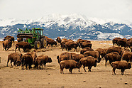 Bison-Buffalo-Wildlife