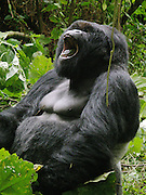 Mountain gorilla (Gorilla beringei beringei) in the Virunga National park.