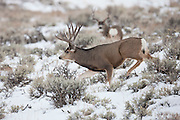 Southwest Wyoming mule deer buck in snow during the rut in late autumn