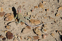 Lizard, Chaco Canyon, NHS, New Mexico