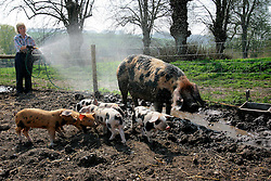 UK ENGLAND WILTSHIRE CHITTERNE 15APR07 - Carron McCann (48) hoses down Gloucestershire Old Spot pigs to cool them down at the Paradise Pig Farm run by Tony York and Carron McCann. Under the 'Pig Perfect' banner the two run a joint farm specialising in rare breeds and offer courses on pig keeping...jre/Photo by Jiri Rezac..© Jiri Rezac 2007..Contact: +44 (0) 7050 110 417.Mobile:  +44 (0) 7801 337 683.Office:  +44 (0) 20 8968 9635..Email:   jiri@jirirezac.com.Web:    www.jirirezac.com..© All images Jiri Rezac 2007 - All rights reserved.