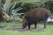 Kenya, Lake Nakuru National Park, Warthog (Phacochoerus africanus).