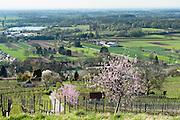 Bandelblüte in den Weinbergen, Heppenheim, Bergstraße, Hessen, Deutschland | flowering almond in vine yards, Heppenheim, Bergstrasse, Hesse, Germany |