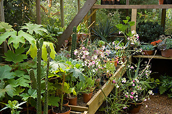 Cacti and succulents on the bench in the greenhouse at Great Dixter. Nicotiana mutabilis in the foreground