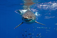 Great White Shark Approaching