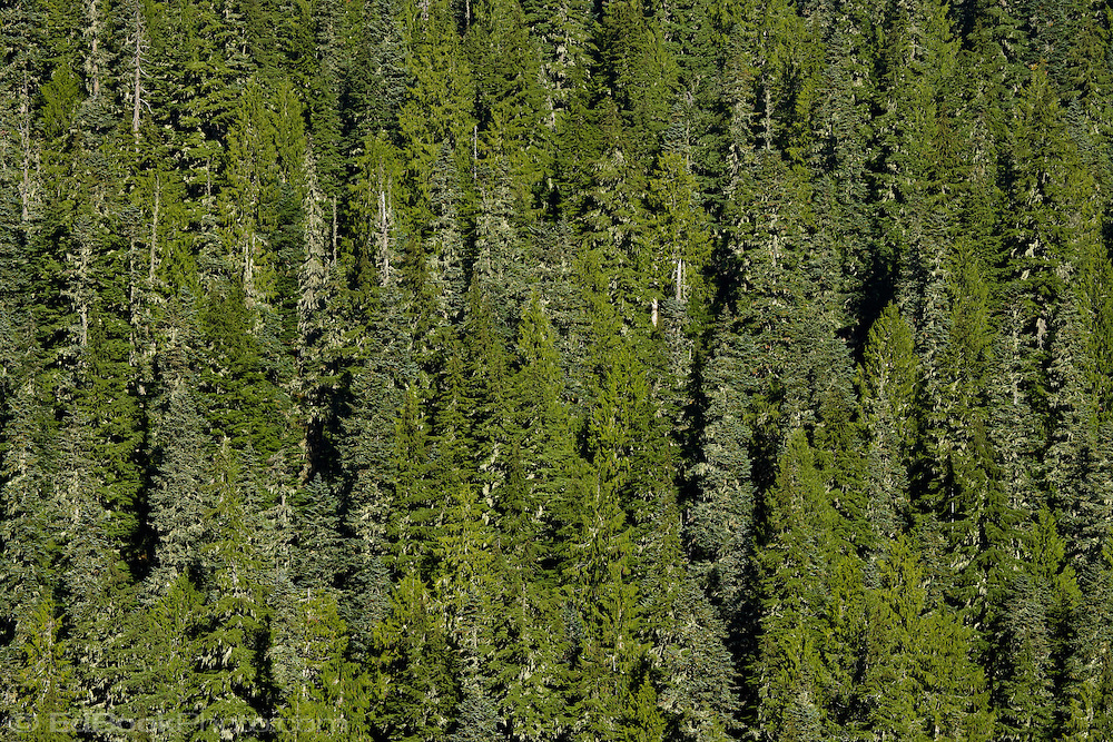 old growth forest on a steep mountainside at Mount Rainier National Forest, WA, USA
