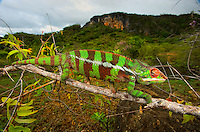 Giant Madagascar or Oustalet's Chameleon, male (Furcifer oustaleti)..Montagne des Français Reserve Antsiranana, Northern Madagascar Image by Andres Morya