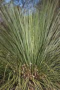 The Australian grass tree Xanthorrhea