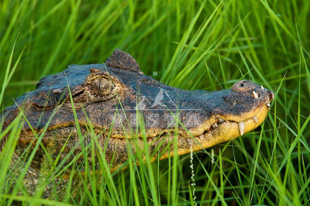 Jacaré-tinga (Caiman crocodilus) , Ilha do Bananal, Parque Nacional do Araguaia, Lagoa da Confusao, Tocantins, Brasil, foto de Ze Paiva, Vista Imagens.