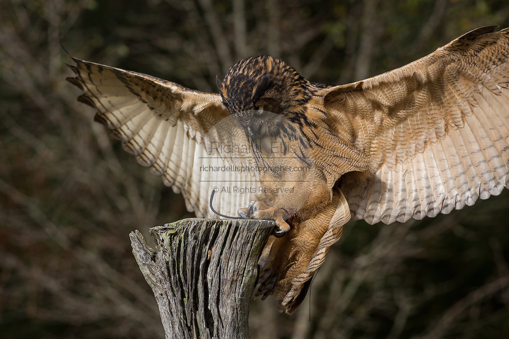 Eurasian Eagle Owl attacking prey at the Center for Birds of Prey November 15, 2015 in Awendaw, SC.