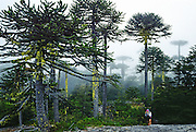 "Hear the warble of exotic birds as you walk through an enchanting Monkey Puzzle tree forest in Nahuelbuta National Park, Cordillera de Nahuelbuta, a coast range near Angol (north of Temuco), Chile, South America. Mysterious mists water a garden of yellow lichen draped over the trees. Branches form an umbrella of sharp leaves on a straight trunk which grows to over 100 feet high. Monkey Puzzle trees (Araucaria araucana) are conifers which are usually dioecious, where male and female cones grow on separate trees, though some individuals bear cones of both sexes. Its edible seeds (about 200 in each female cone) are similar to large pine nuts. Araucaria araucana, the national tree of Chile, is native to central and southern Chile and western Argentina. As the hardiest species of its genus, this tree has become popular in gardens. Unfortunately, due to logging, burning, grazing, and habitat conversion to Pinus radiata plantations, Araucaria araucana is listed as an endangered species by CITES (Convention on International Trade in Endangered Species of Wild Fauna and Flora). In France, the Monkey Puzzle tree is known as désespoir des singes or ""monkeys' despair."" What international tourist literature calls the ""Chilean Lake District"" usually refers to the foothills between Temuco and Puerto Montt including three Regions (XIV Los Ríos, IX La Araucanía, and X Los Lagos) in what Chile calls the Zona Sur (Southern Zone). Published in: 1) The ""Dinosaur Encyclopedia"" 2007 by British publisher Dorling Kindersley; and 2) United States Fish and Wildlife Service, International Affairs web site concerning CITES."