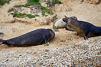Northern Elephant Seal (Mirounga angustirostris) two males face off on beach at Elephant Seal overlook,  Point Reyes National Seashore, California, USA