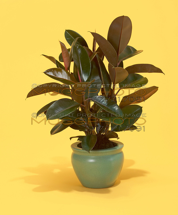 rubber plant in a clay pot on yellow background