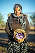 TALIOUINE, MOROCCO - October 25th 2015 - Portrait of a saffron farmer holding a basket of crocus sativus flowers at a saffron farm in Taliouine, Sirwa Mountain Range, Souss Massa Draa, Southern Morocco