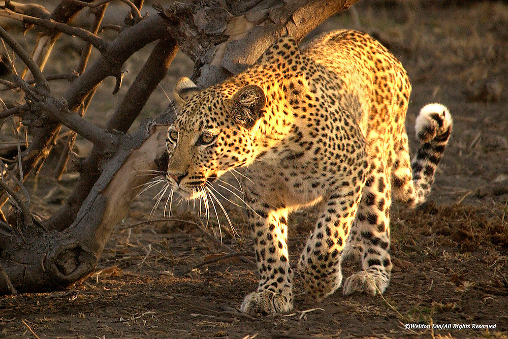 Leopard<br />