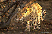 Leopard<br /> Chobe National Park, Botswana<br /> <br /> This leopard was stalking a juvenile greater kudu when this image was made. Fortunately, the kudu escaped. Unfortunately, the leopard went home hungry and empty handed.<br /> <br /> Edition of 500