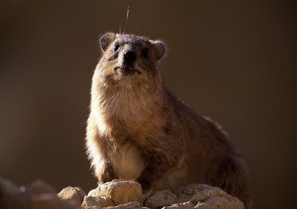 Rock hyrax studying photographer; Israel