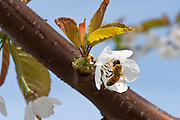 Honey bees polinate cherry blossoms at Orchard View Farms in The Dalles, Columbia River Gorge,, Oregon