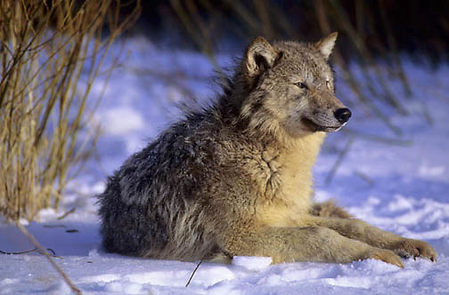 Gray Wolf, (Canis lupus) Adult resting near willows. Captive Animal.