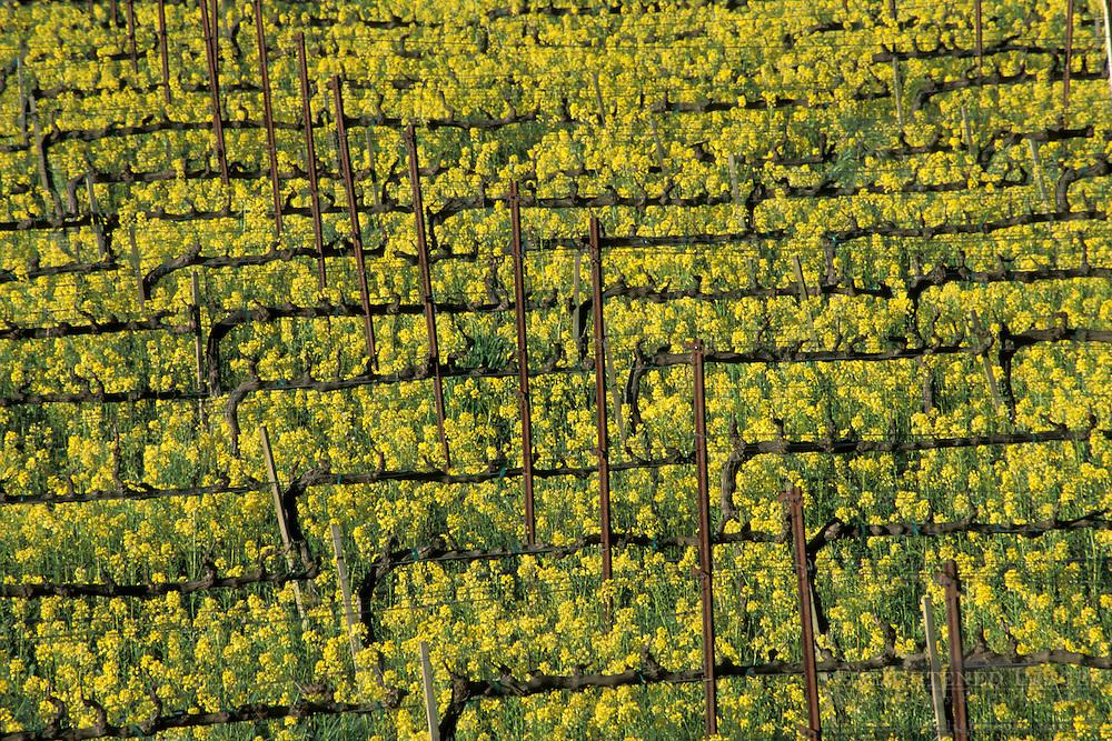 Mustard flowers bloom in spring in a vineyard, Silverado Trail, Napa Valley Wine Country, California