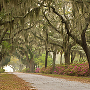 Live Oak Trees at Bonaventure Cemetery in Savannah Georgia
