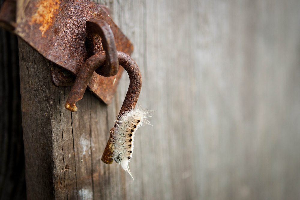 A closeup of a caterpillar crawling on an old lock on the shed at the farm.