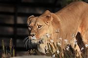 Female lion (Panthera leo leo), in the Zone Sahel-Soudan of the new Parc Zoologique de Paris or Zoo de Vincennes, (Zoological Gardens of Paris or Vincennes Zoo), which reopened April 2014, part of the Museum national d'Histoire naturelle (National Museum of Natural History), 12th arrondissement, Paris, France. Picture by Manuel Cohen