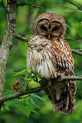 Barred owl sits on a branch looking for prey.