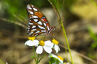 The spotted underside of the wings and striped body make a nice contrast in white to the gulf fritillary's bright orange overall coloring.